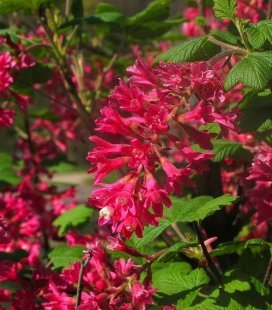 Ribes sanguineum 'King Edward VII', Смородина криваво-червона 'Кінг Едвард VII'