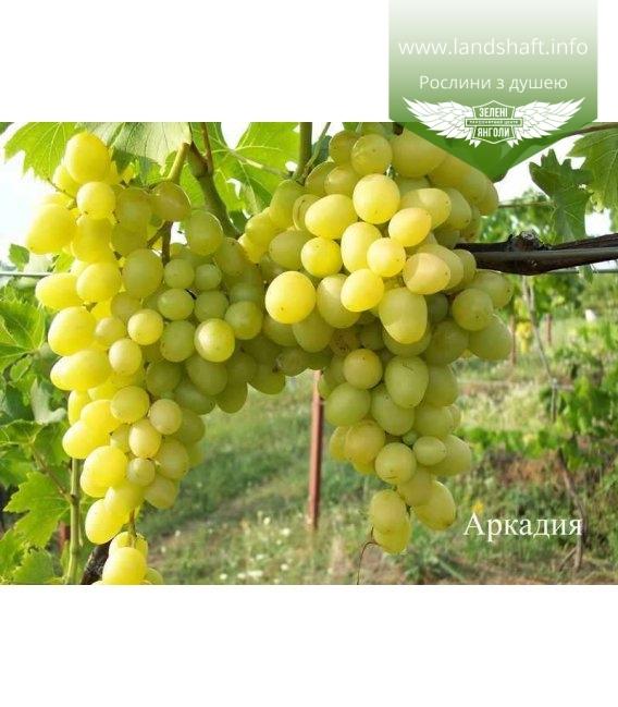 Виноград 'Аркадія'