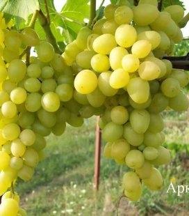 Vitis vinifera 'Arkadia', Виноград 'Аркадія'