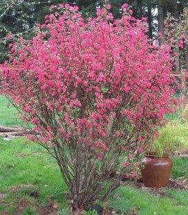 Ribes sanguineum 'King Edward VII', Смородина кроваво-красная 'Кинг Эдвард VII'