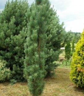 Pinus sylvestris 'Fastigiata', Сосна обыкновенная 'Фастигиата'