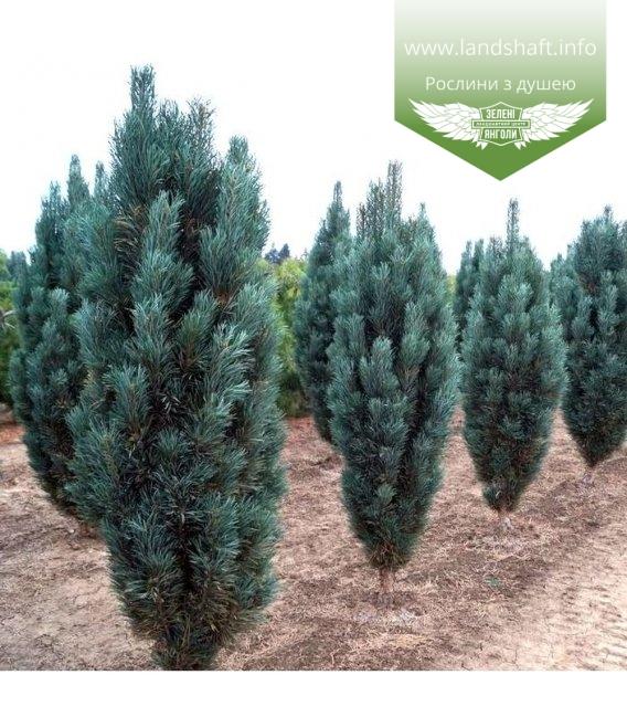 Pinus sylvestris 'Fastigiata', Сосна звичайна 'Фастігіата'