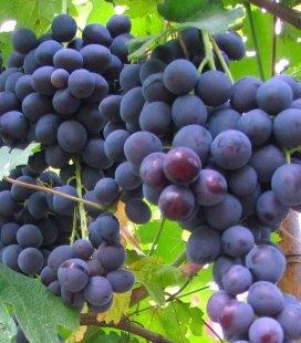 Vitis vinifera 'Chorniy Talisman', Виноград 'Черный Талисман'