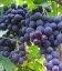 Vitis vinifera 'Chorniy Talisman', Виноград 'Чорний Талісман'