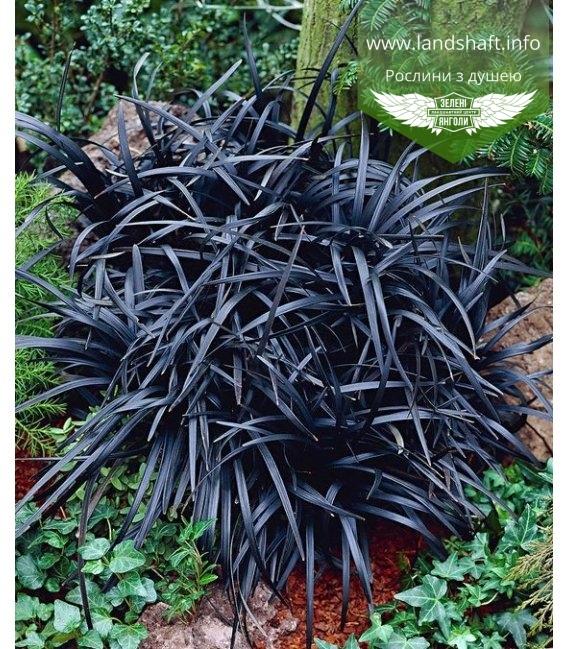 Ophiopogon planiscapus 'Niger', Офіопогон плоскострільний 'Нігер'