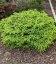 Picea abies 'Little Gem', Ель обыкновенная 'Литл Джем'