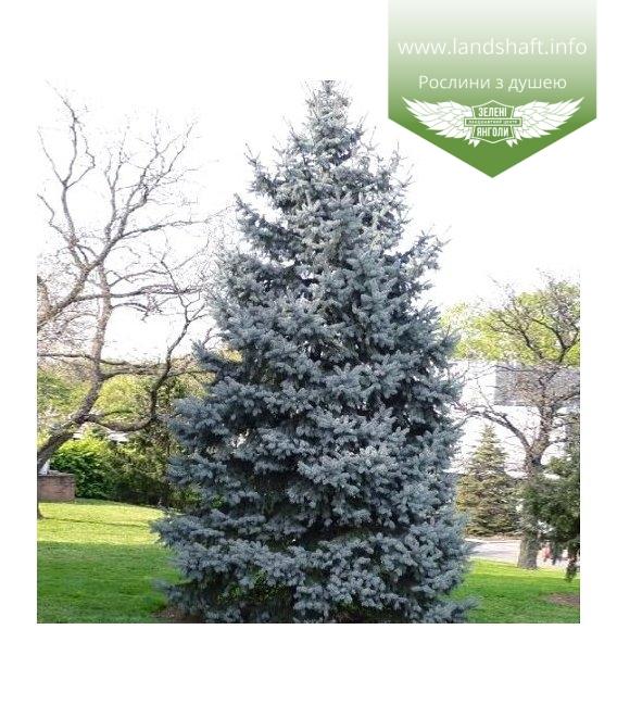 Picea pungens 'Koster', Ялина блакитна / колюча 'Костер'