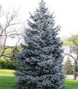 Picea pungens 'Koster', Ель колючая / голубая 'Костер'