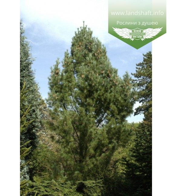 Pinus strobus 'Fastigiata', Сосна Веймутова 'Фастігіата'
