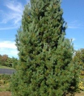Pinus strobus 'Fastigiata', Сосна Веймутовая 'Фастигиата'