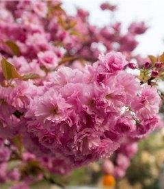 Prunus serrulata 'Kanzan', Вишня мелкопильчатая 'Канзан' сакура