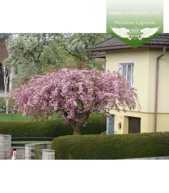 Prunus serrulata 'Kiku-Shidare-Zakura' Сакура плакучая