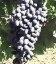 Vitis vinifera 'Nadiya AZOS', Виноград 'Надія АЗОС'