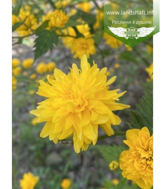 Керрия японская махровая Пленифлора жолтые соцветия