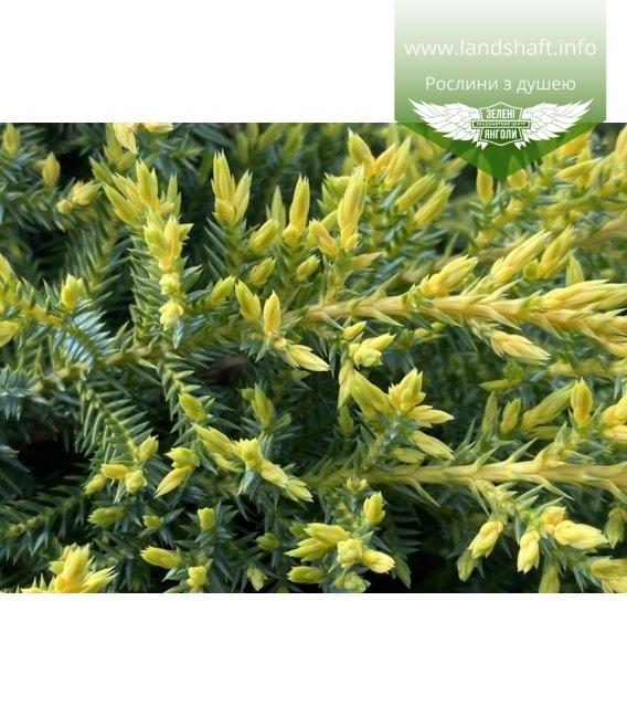 Juniperus x media 'Daub's Frosted', Ялівець середній 'Дабс Фростед'