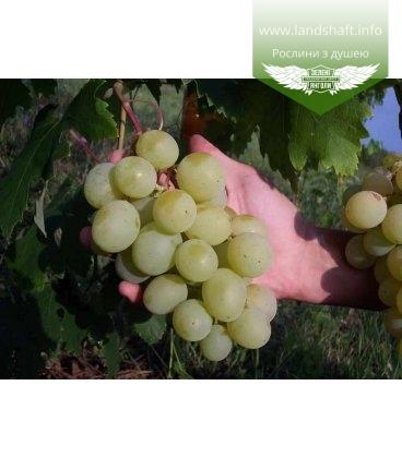 Виноград 'Талисман'