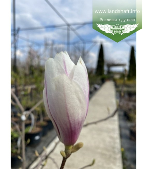 Magnolia x soulangeana, Магнолія Суланжа