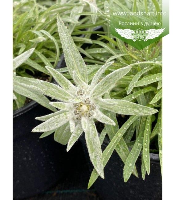 Leontopodium alpinum 'May Snow', Білотка / Едельвейс 'Мей Сноу'