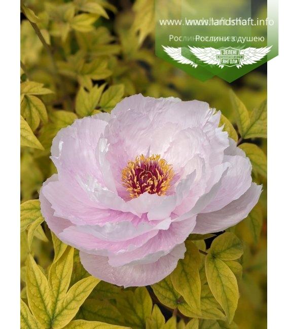 Paeonia suffruticosa 'Ru Hua Shin Yu/Like a Girl', Півонія деревовидна