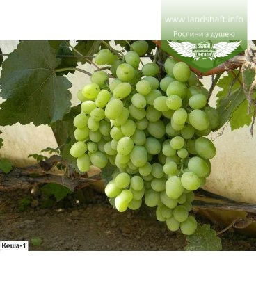 Виноград 'Кеша'