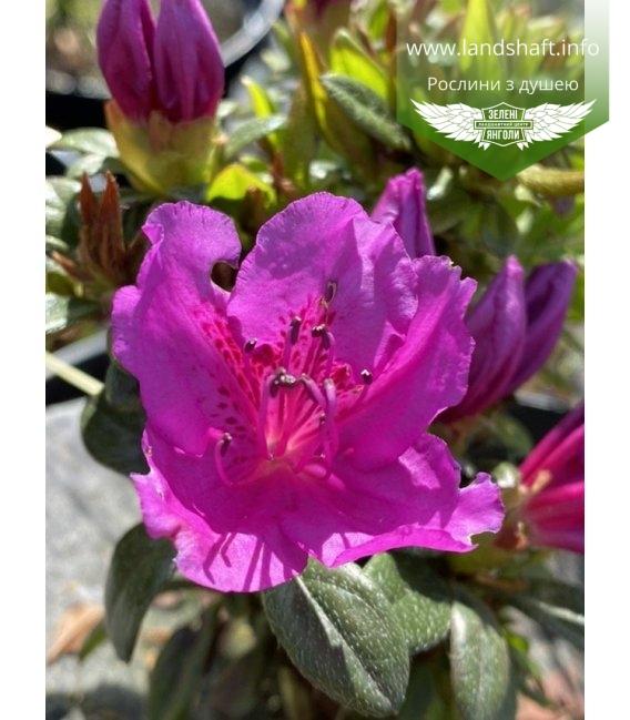 Azalea japonica 'Lilienstein', Азалія японська 'Лілієнштайн'
