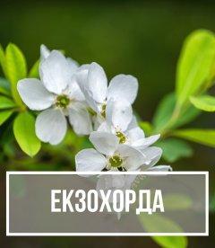 Екзохорда (Exochorda)