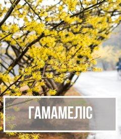 Гамамелис (Hamamelis)
