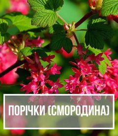 Порічка (Ribes)