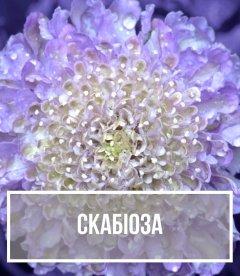 Скабіоза (Scabiosa)