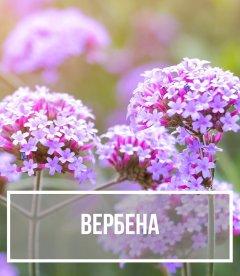 Вербена (Verbena)