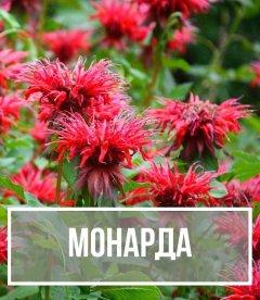 Монарда (Monarda)