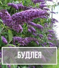 Буддлея (Buddleja)