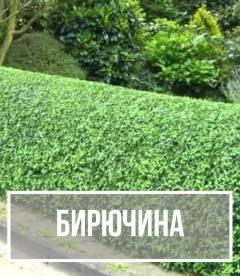 Бирючина (Ligustrum)