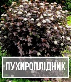 Пухироплідник (Physocarpus)