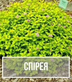 Спірея (Spiraea)