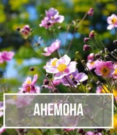 Ветреница (Anemone)