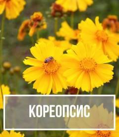Кореопсис (Coreopsis)