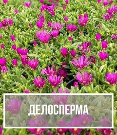 Делосперма (Delosperma)