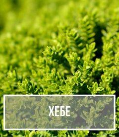 Хебе (Hebe)