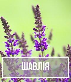 Шалфей (Salvia)