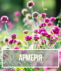 Армерия (Armeria)