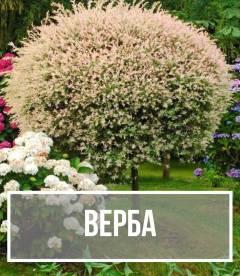 Верба (Salix)