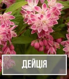 Дейція (Deutzia)