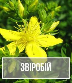 Звіробій (Hypericum)