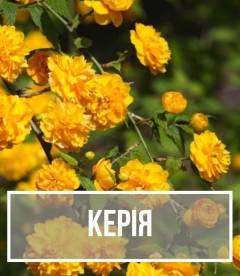 Керия (Kerria)
