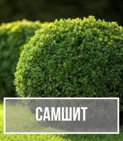 Самшит (Buxus)