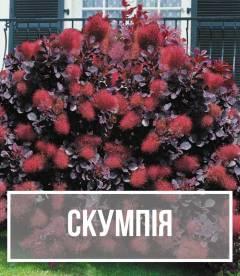Скумпия (Cotinus)
