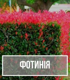 Фотинія (Photinia)