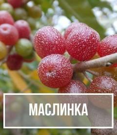 Маслинка (Elaeagnus)