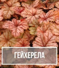 Гейхерела (Heucherella)